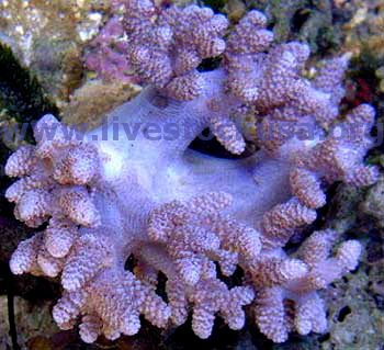 Coral Identification Photos Marine Aquarium Soft