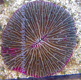 Pink Plate Coral