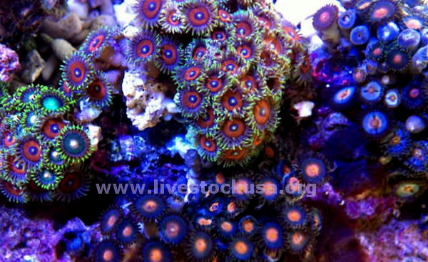 Combo Fancy Zoanthids